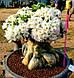 Семена Адениум Белый Слон, фото 2
