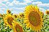Семена подсолнечника  устойчивого к заразихе (7 рас), по лучшей цене!