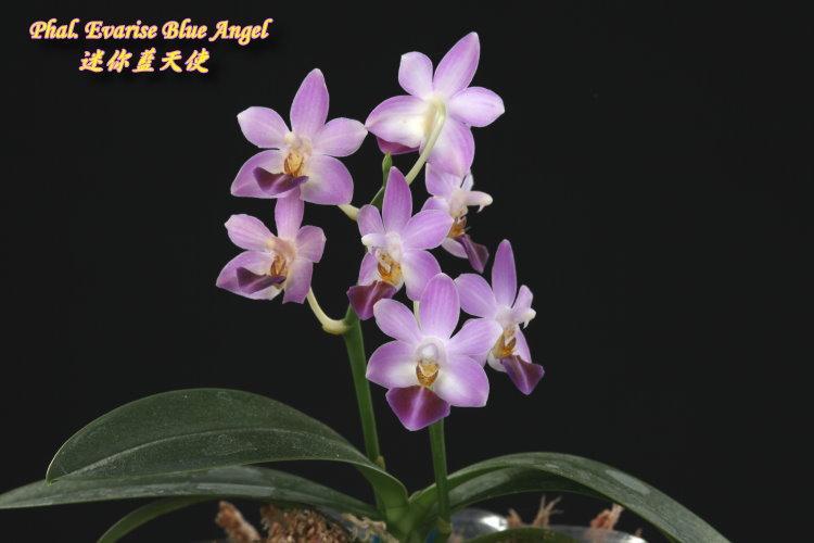 """Подростки орхидеи. Сорт Phal. Evarise Blue Angel, горшок 1.7"""" без цветов"""