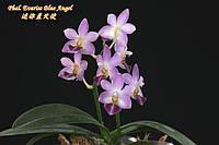 """Подростки орхидеи. Сорт Phal. Evarise Blue Angel, горшок 1.7"""" без цветов, фото 1"""