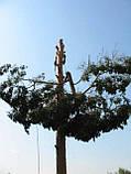 Удаление деревьев. Спиливание деревьев. Обрезка веток . Корчевание пней., фото 2
