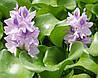 Водяной гиацинт Эйхорния (водный гиацинт)