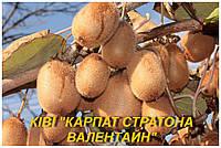 """Саженцы Киви """"Карпат Стратона Валентайн"""" (ЗКС)"""