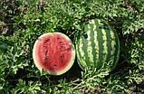Семена арбуза Кримсон Свит 500 г (Hollar Seeds), фото 2