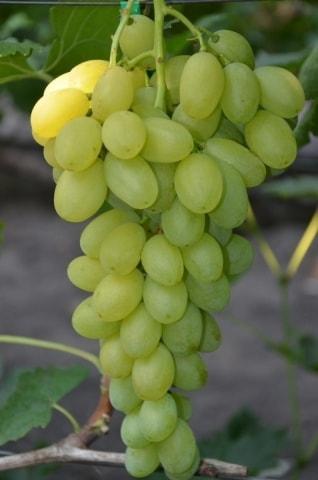 Саженец винограда сорт Монблан