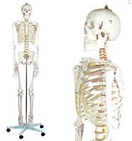 """Скелет человека 181 см """"Oskar""""  анатомическая модель Германия торс череп тренажер"""