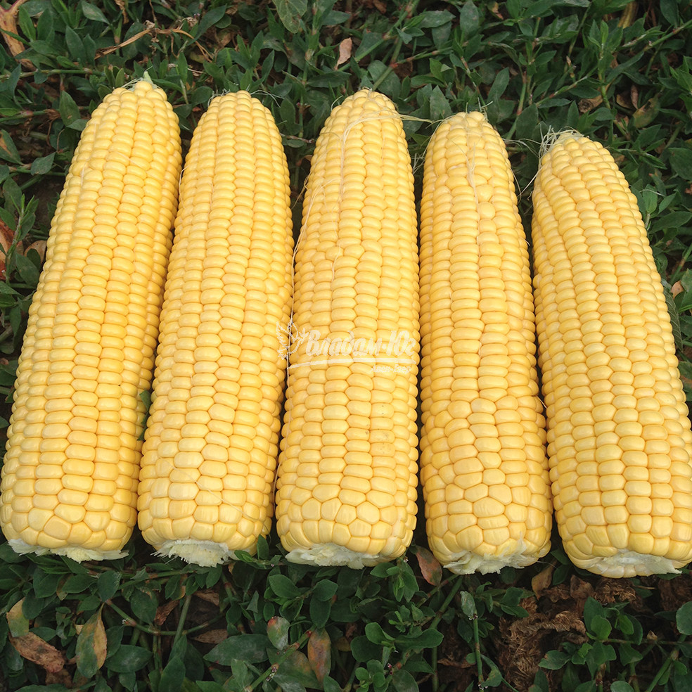 Семена кукурузы сладкой Турбин F1 (5000 сем.) Clause