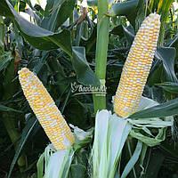 Семена кукурузы сладкой Камберленд F1 (5000 сем.) Clause