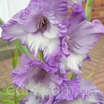 Гладиолус Hidden Treasure 3 шт./уп., крупноцветковый