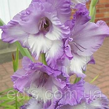 Гладиолус Hidden Treasure 3 шт./уп., крупноцветковый, фото 2