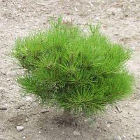 "Сосна густоцветная ""Алиса Веркаде"" /Сосна густоцвітна ""Аліса Веркаде"" / Pinus densiflora 'Alice Verkade'"