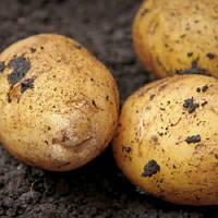 Картофель Аризона сорт ранний урожайный крупноплодный Элита клас Е-1 фракция 25-55