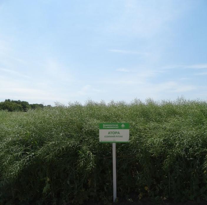 Семена рапса АТОРА Лембке