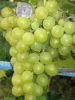 Саженец винограда Мускат Жемчужный