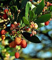 Земляничное дерево Арбутус (Arbutus) 10-20 см. (пр.Италия)