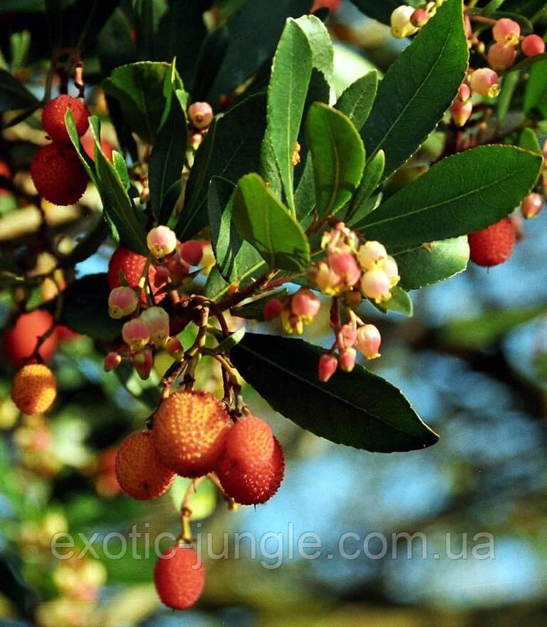 Земляничное дерево Арбутус (Arbutus) 20-30 см. (пр.Италия)