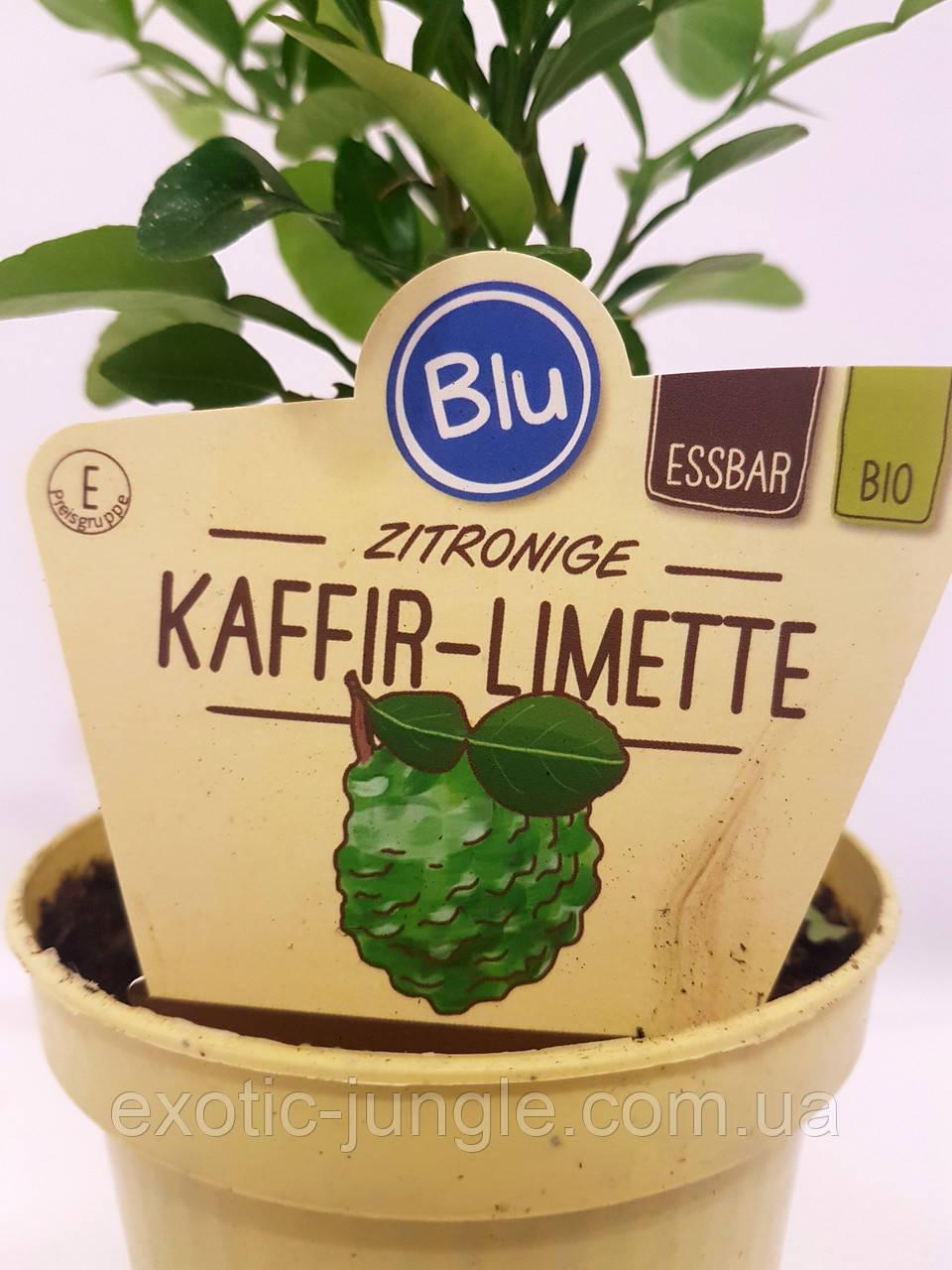 Лайм Кафрский, Хистрикс (Kaffir Lime, Citrus hystrix) 10-20 см. Комнатный. Куст (пр.Италия)