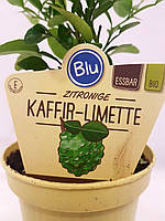 Лайм Кафрский, Хистрикс (Kaffir Lime, Citrus hystrix) 10-20 см. Комнатный. Куст (пр.Италия), фото 1