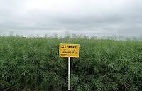 Семена озимого рапса  Абакус , фото 1