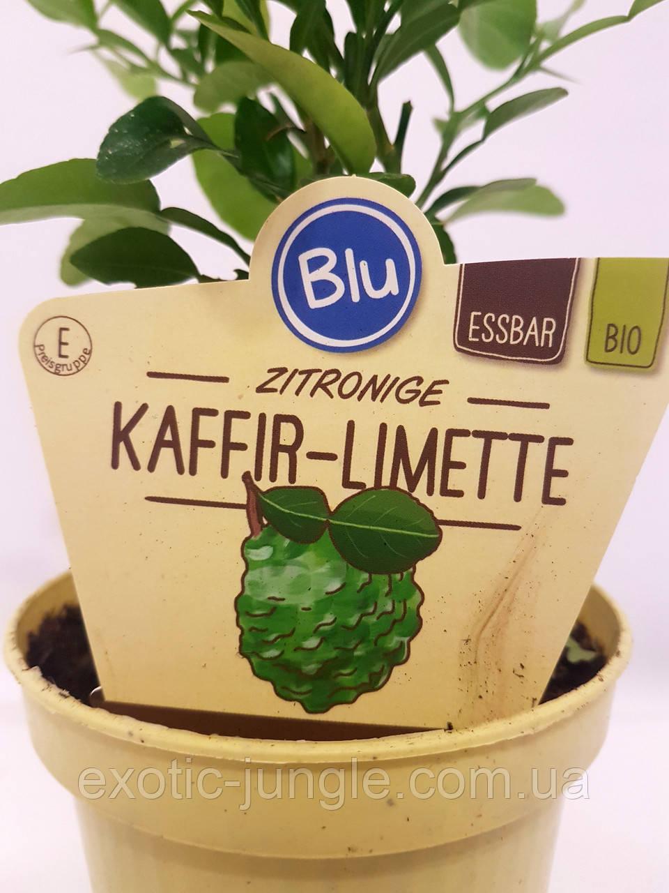 Лайм Кафрский, Хистрикс (Kaffir Lime, Citrus hystrix) 30-35 см. Комнатный. Куст (пр.Италия)