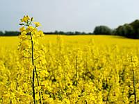 Семена озимого рапса Синтетик