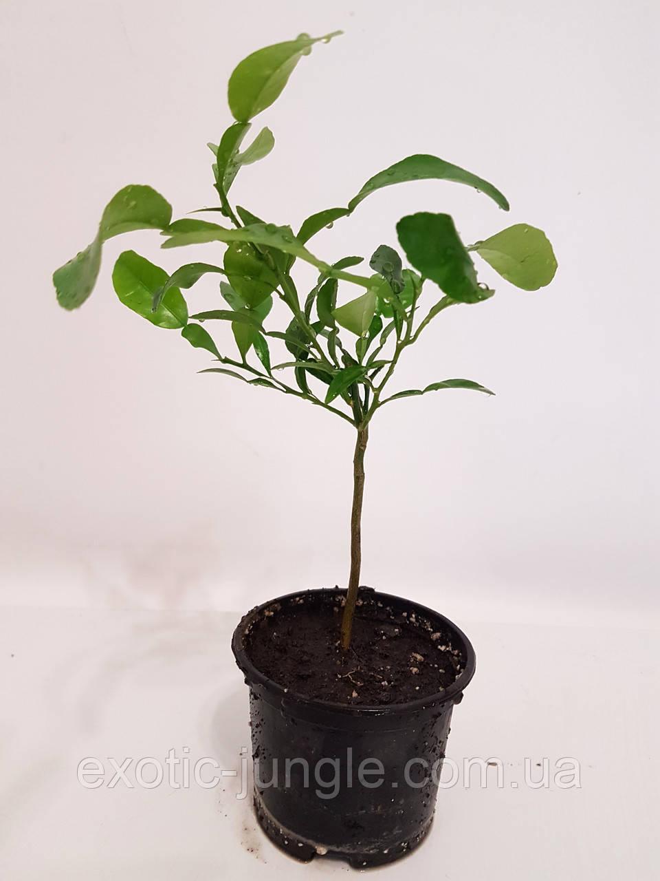 Лайм Кафрский, Хистрикс (Kaffir Lime, Citrus hystrix) 20-25 см. Комнатный, фото 1