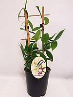 Ваниль плосколистная (лат. Vanilla planifolia)