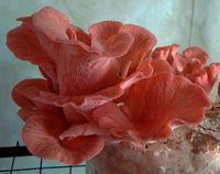 Міцелій на брусочки Глива рожева (Рожевий фламінго)
