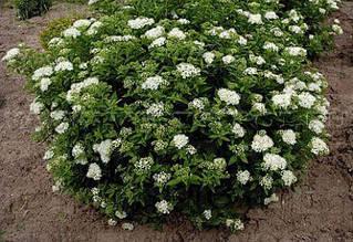 Спирея японская 'Albiflora' С5, Н 40+