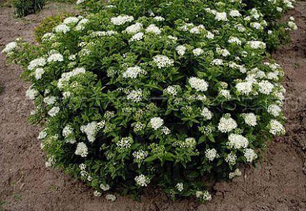 Спирея японская 'Albiflora' С5, Н 40+, фото 2