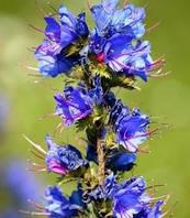 Синяк семена, 5 кг