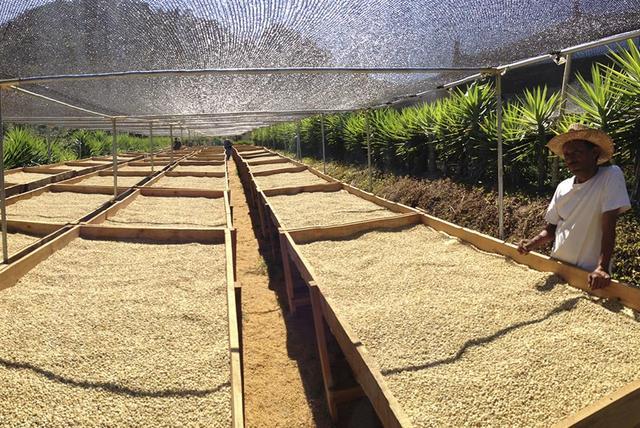 зеленый кофе Арабика Эль Сальвадор (El Salvador)