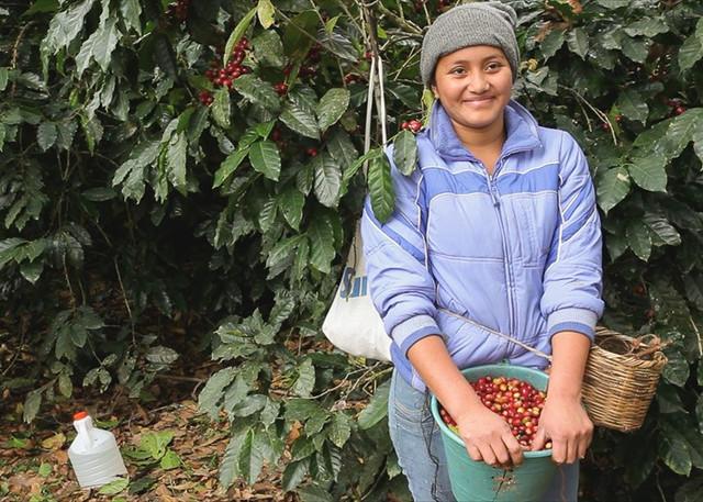 необжаренный кофе Арабика Гондурас Марагоджип (Arabica Honduras Maragogype)