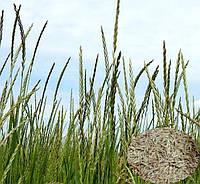 Насіння господарських трав Райграс 1 кг (Україна)