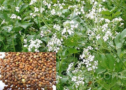 Насіння господарських трав Редька олійна 1 кг (Україна)
