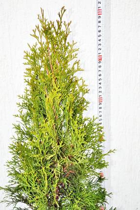 Туя западная Смарагд 80 см С5, фото 2