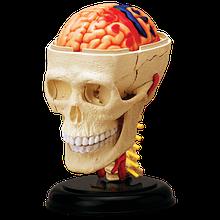 Об'ємна анатомічна модель Черепно-мозкова коробка людини