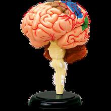 Об'ємна анатомічна модель Мозок людини
