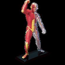 Об'ємна анатомічна модель М'язи і скелет людини