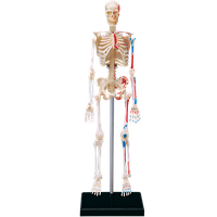 Объемная анатомическая модель Скелет человека