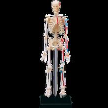 Об'ємна анатомічна модель Скелет людини