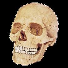 Об'ємна анатомічна модель Череп людини