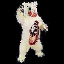 Об'ємна анатомічна модель Білий ведмідь