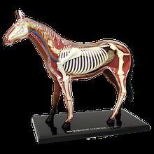 Об'ємна анатомічна модель Кінь
