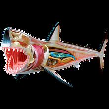 Об'ємна анатомічна модель Велика біла акула