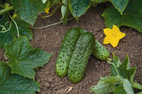 Семена огурца Караоке (Karaoke RZ) F1, 1000 семян партенокарпический