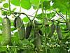 Семена огурца Кибрия (Kybria RZ) F1, 1000 семян партенокарпический