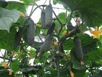 Семена огурца Ленара (Lenara RZ) F1 250 семян