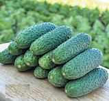Семена огурца Чайковский (Chaikovskiy RZ) F1 .1000 семян, фото 2