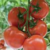 Семена томата Беллавиза (Belavisa RZ) F1, 1000 семян